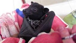Bat Knows Human Is Helping Him