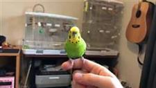 Parakeet Recites His 12 Favorite Phrases
