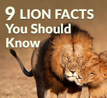 9 Lion Facts