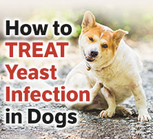 How to Treat Yeast Infection in Dogs