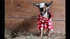 'Kids' in Jammers: Goat Kid P.J. Party