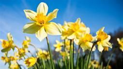 Daffodils Contain Potent Alkaloid