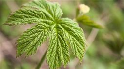 Goldenseal: An Age-Old Herb With Medicinal Potential