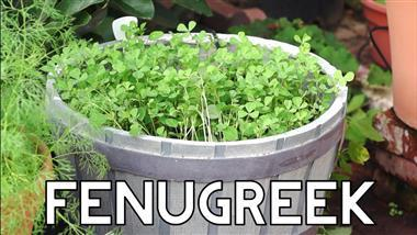 How to Grow Fenugreek