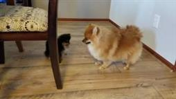 Baby Pomeranian Not Large, but 'In Charge!'