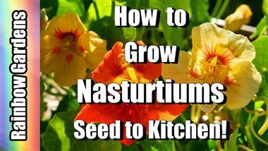 How to Grow Nasturtiums