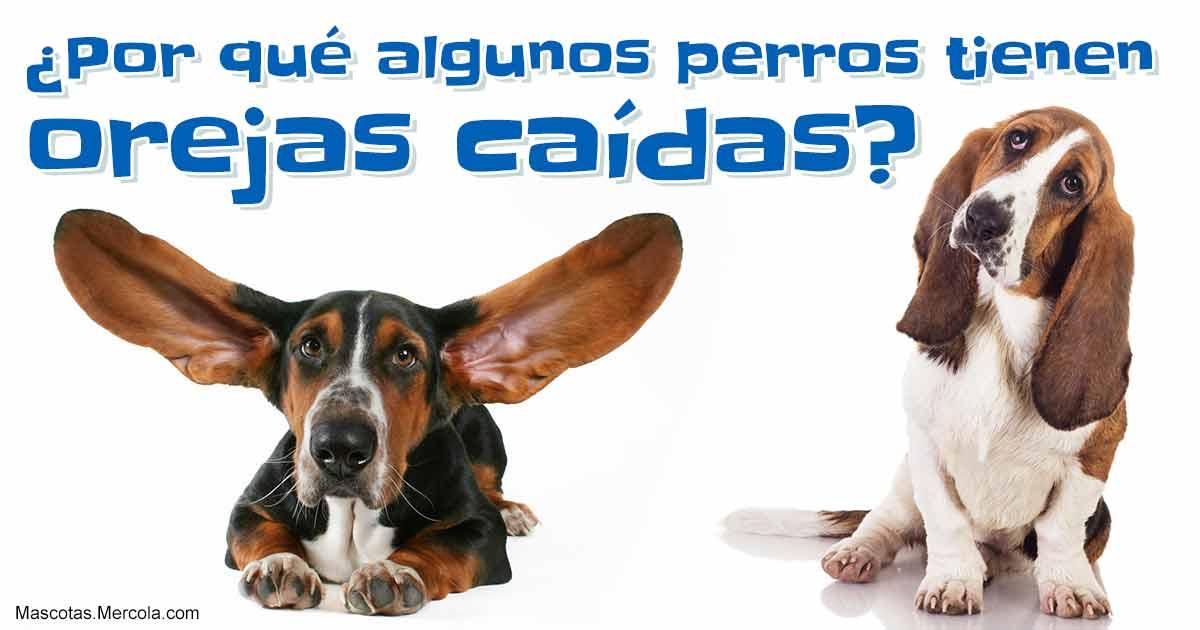 Por qué los perros tienen orejas caídas? Como en un cuento animado
