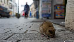 City Rodents Packed With Pathogens