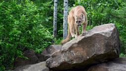 Eastern Cougars Finally Declared Extinct