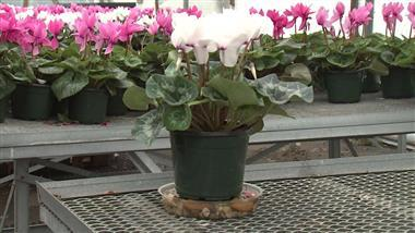 How to Grow Cyclamen Indoors and In Your Garden