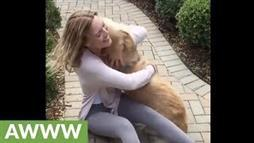 This Golden Retriever Really Missed His Human!