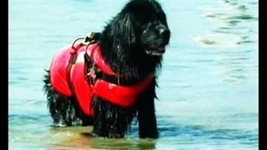 Newfoundlands Excel at Water Rescues