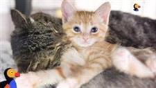 Feral Cat Becomes �Grandpa Mason� to Rescue Kittens