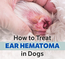 Ear Hematoma in Dogs