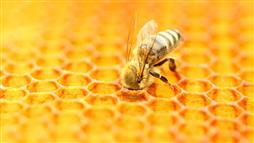 Widely Used Herbicide Harms Honeybees' Gut Bacteria