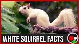 How Rare Are White Squirrels?