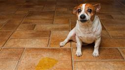 dog leaking urine