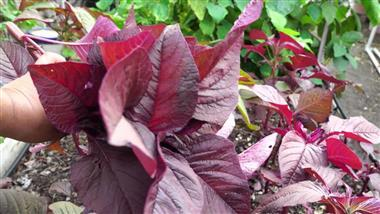 Add Some Drama to Your Garden With Ornamental Amaranth