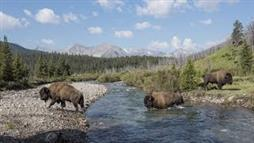 After 140 Years, Bison Again Roaming in Banff