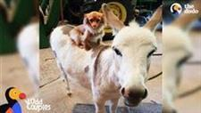 Little Dog Becomes Donkey�s Protector and Friend