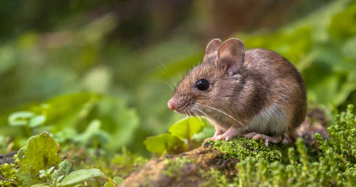 Anticoagulant Poisoning: Most Common Type of Mouse & Rat Poisoning