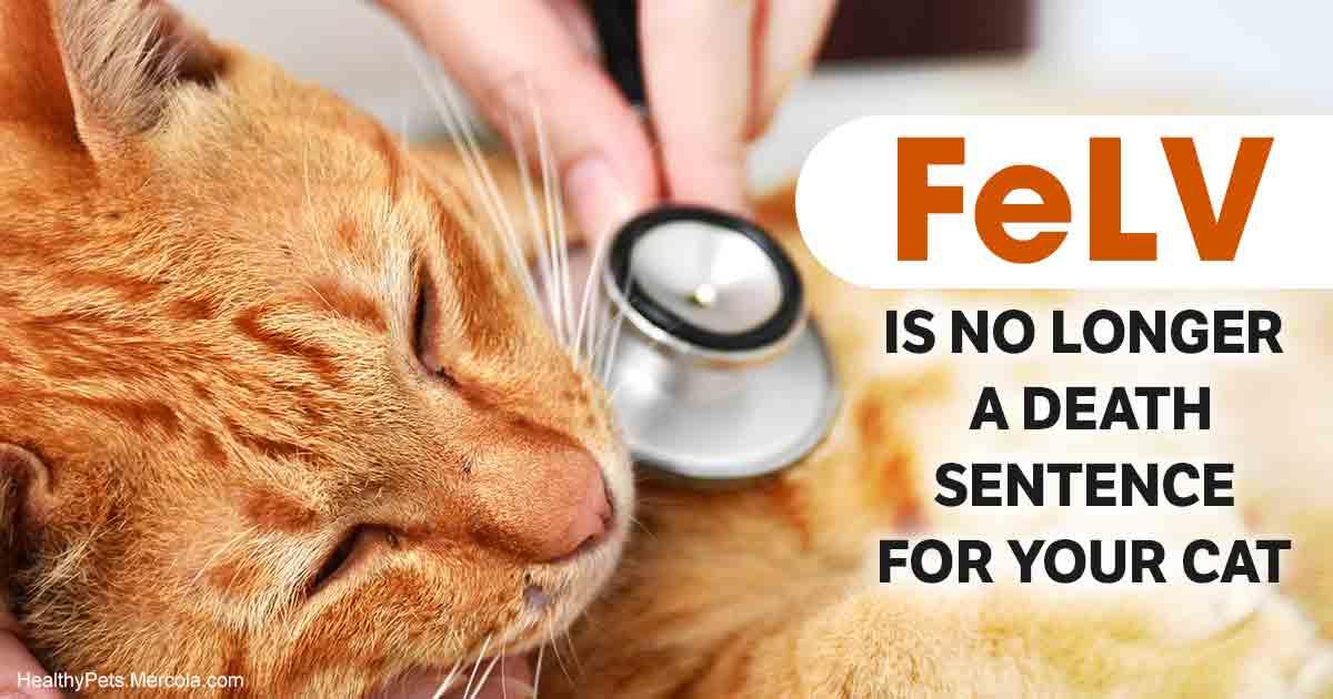 Why a Feline Leukemia Virus Diagnosis Isn't a Death Sentence