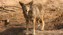 red wolf endangered species