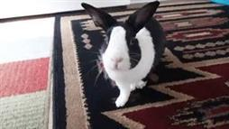 'Potty Trained' Rabbit Runs to the Litter Box