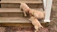 Labrador Puppies Learn to Climb Steps