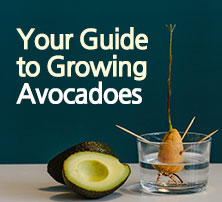 Your Guide to Growing Avocadoes
