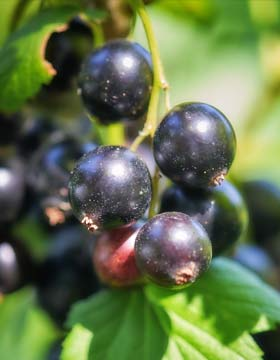 What Are Black Currants Good For