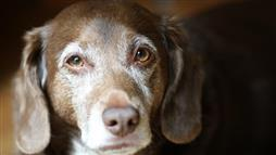cognitive dysfunction in dogs