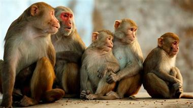 Modifying Monkeys With Genes From Human Brains?