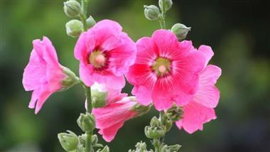 Help Ease Inflammation With Hollyhock