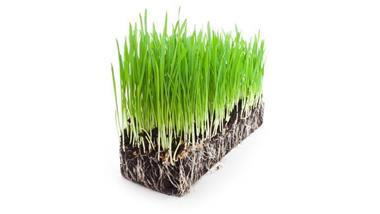 Wheatgrass: A Sprout Made From Grains, but Are the Benefits Worth the Risks?