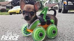 Try to Keep Up With Turbo, a Two-Legged Chihuahua