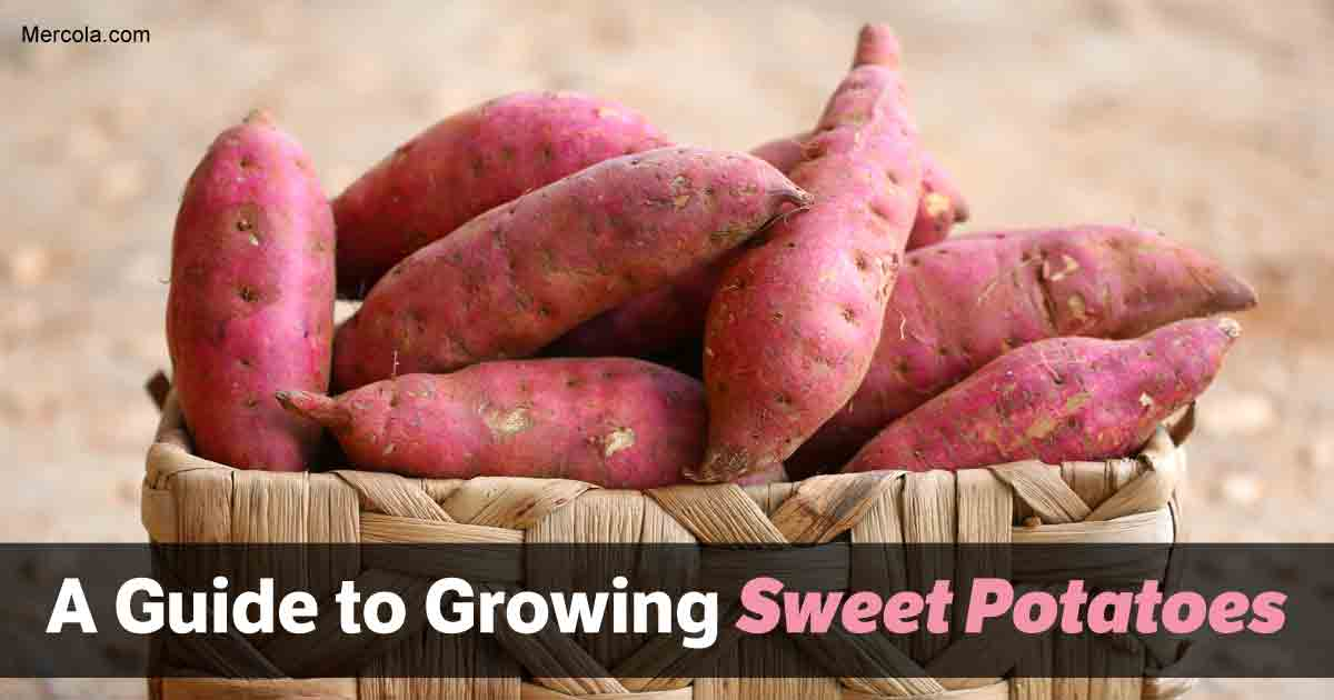 Growing Sweet Potatoes: How to Grow Sweet Potatoes