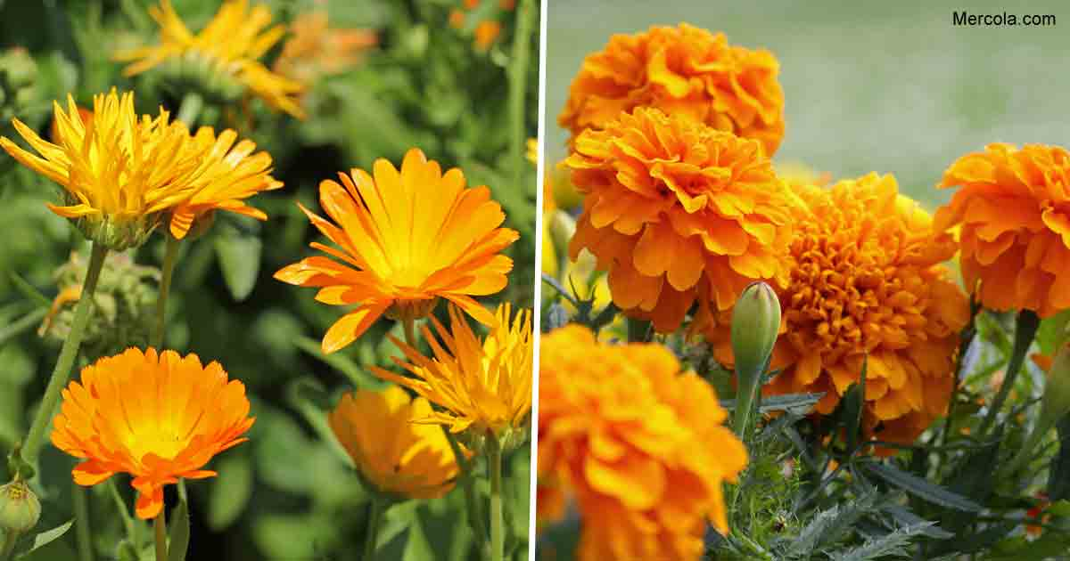 What Are the Benefits and Uses of Marigold?