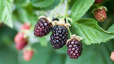 Benefits of Growing Blackberries
