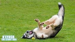 Crazy Husky Loves Somersaulting!
