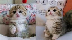 Scottish Fold Kitten Will Melt Your Heart!