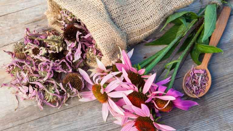 Echinacea: La Flor Americana
