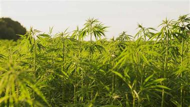 Growing Hemp Legalized in This Country
