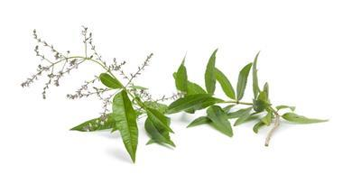 Lemon Verbena Oil: The Oldie but Goodie Culinary Herb