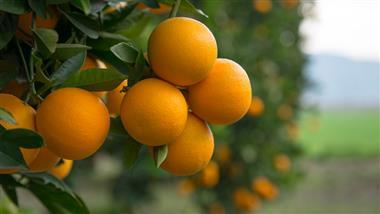 Why Are Your Oranges Covered With Antibiotics?