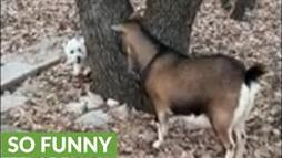 Westie Hilariously Plays Hide-and-Seek With a Goat