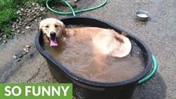 Golden Retriever Jumps in the Tub