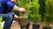 how to grow evergreens