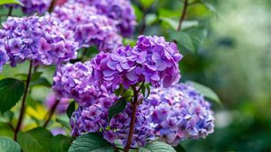 Hydrangeas are a beautiful way to brighten up your garden