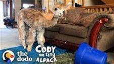 Cody � An alpaca who lives like a princess